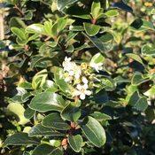 Escallonia iveyii (Foliage)