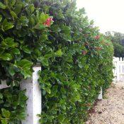 Escallonia macrantha (Hedge)