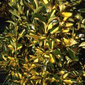 Euonymus Aureopictus (Foliage)