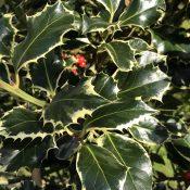 Ilex Argentea Marginata (Foliage)