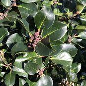 Ilex Hodginsii (Foliage)