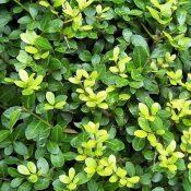Ilex crenata (Foliage)