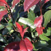Photinia 'Red Select'
