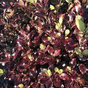 Pittosporum Tom Thumb (Foliage)