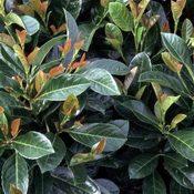 Prunus Etna02