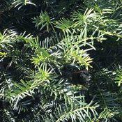 Taxus baccata (Foliage)
