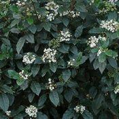 Viburnum tinus (Foliage)